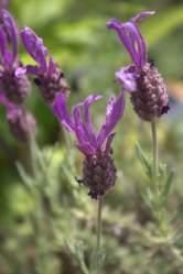 Lavendel- Sorbet