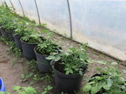 Verschiedenste Tomatensorten