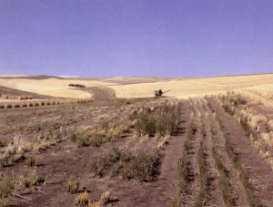 Perennial wheat plots 6 weeks after harvest, October 2000, at Spillman Farm, Washington State University, Pullman. Photo provided by Winter Wheat Breeding Program, Department of Crop and Soil Sciences, Washington State University.
