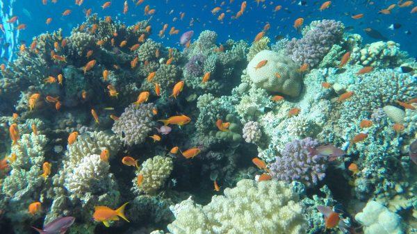 Escursione subacquea a Ras Mohammed da Sharm El-Sheikh