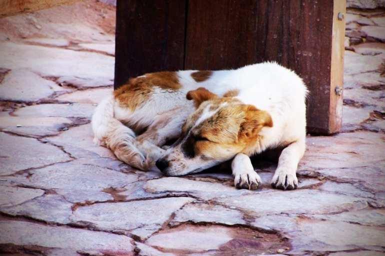 Petra Dog