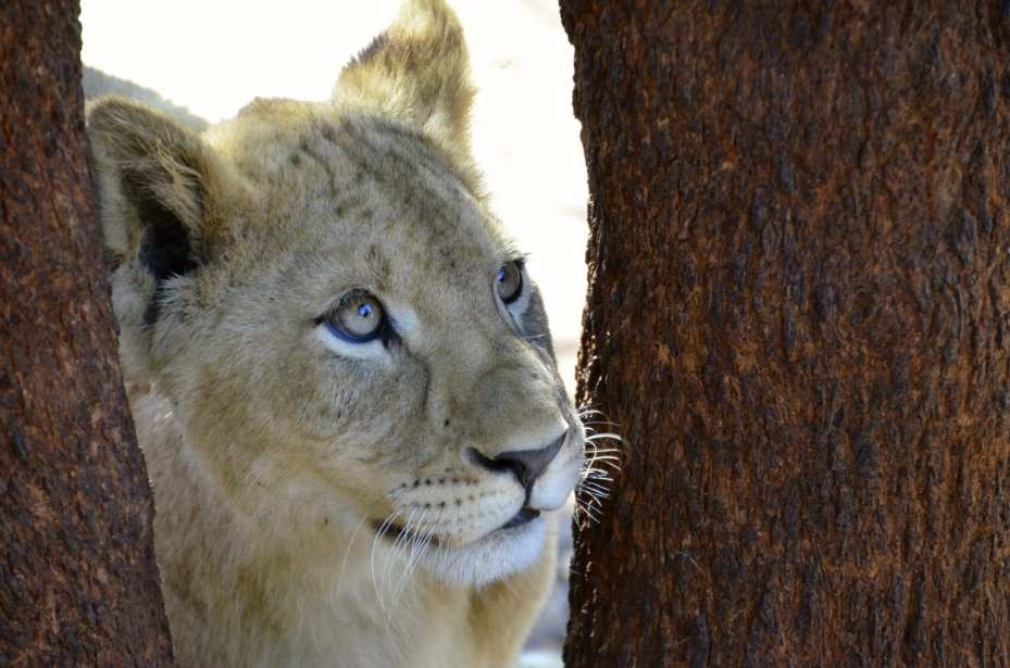 South Africa Lion