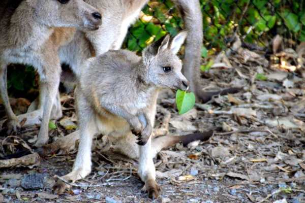 Kangaroo Queensland Australia