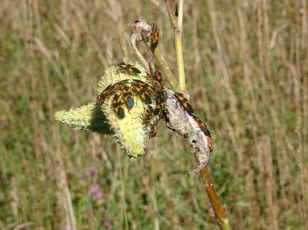 Piper Hawes - Milkweed Bug