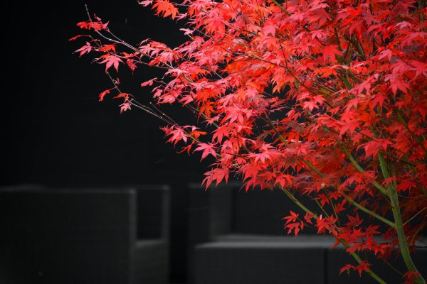red-maple-5385956-1920