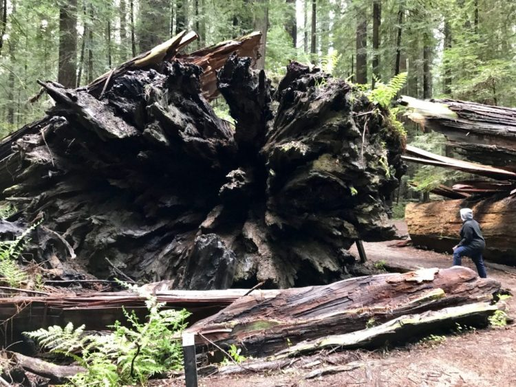 Roots of Dyerville Giant
