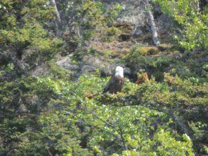 Bald eagle in nest along Lynn Canal