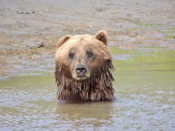 Brown (grizzly bear) in pond