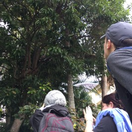 Kookaburra up in that old gum tree!