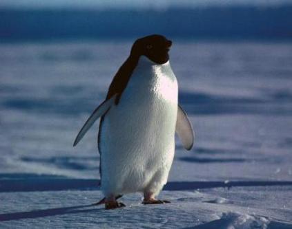 adelie_penguin2