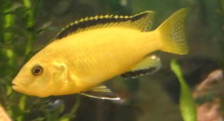 Electric Yellow Cichlid Underwater