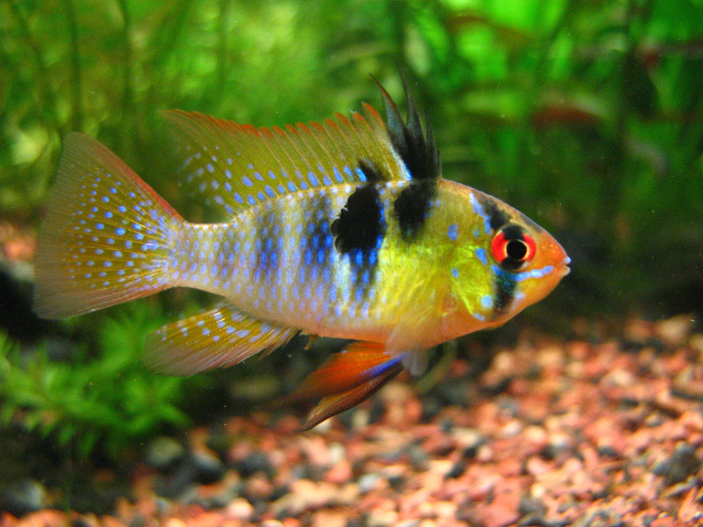 5 Most Non-Aggressive Cichlids • Land of Fish