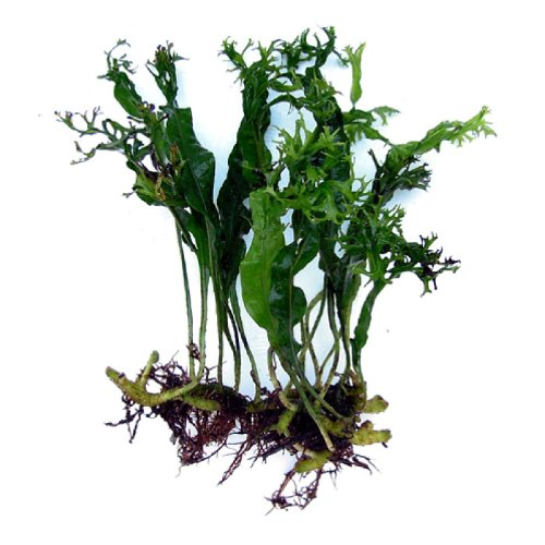 Order Windelov Java Fern from Substrate Source