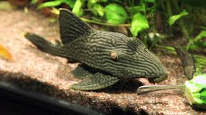 Royal Pleco