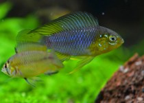 Umbrella cichlid