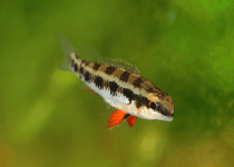 Checkerboard Cichlid