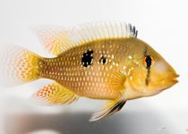 Pearl Eartheater Cichlid