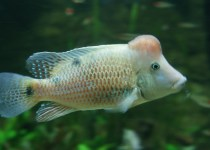 Red Hump Eartheater Cichlid