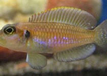 Golden Ocellatus