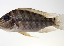 Jeweled Eartheater Cichlid