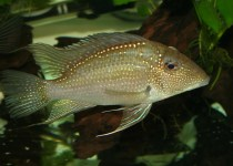 White-Spotted Eartheater Cichlid