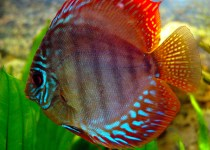 Red Discus Cichlid