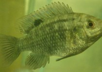 Banded Tilapia