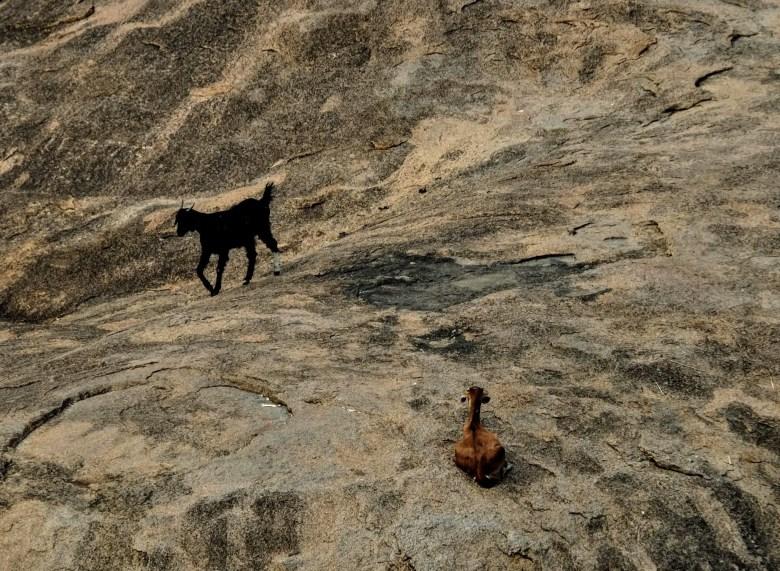Goats at Mahabalipuram, South India