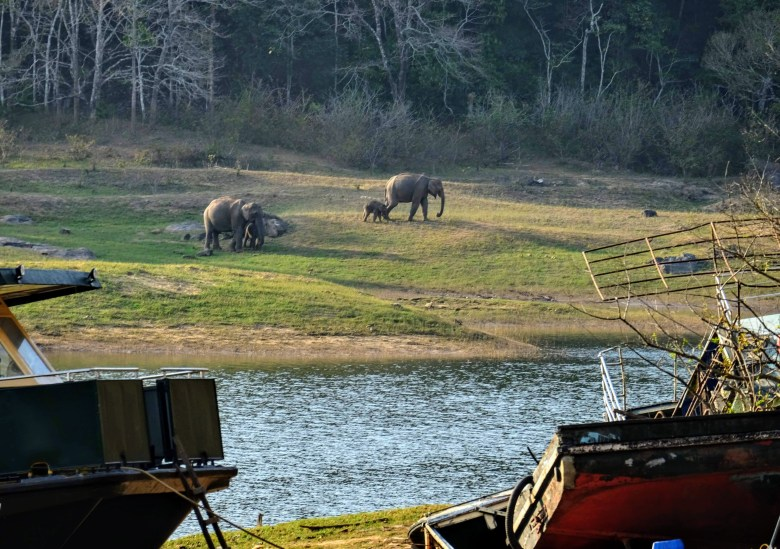 Elephants at the jetty at Periyar National Park, Thekkady