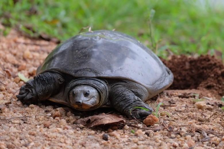 Turtle at Polonnaruwa ruins, Sri Lanka