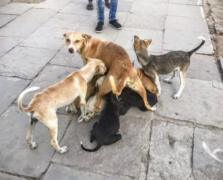 Stray dog feeding different ages of puppies, Varanasi