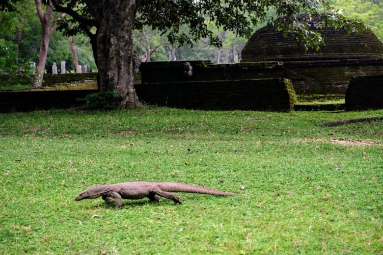 Land monitor lizard at Polonnaruwa, Sri Lanka