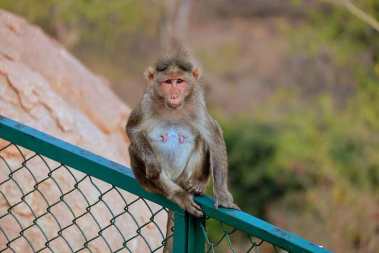 Bonnet macaque, Hampi, South India