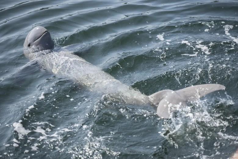Irrawaddy dolphin, iStock