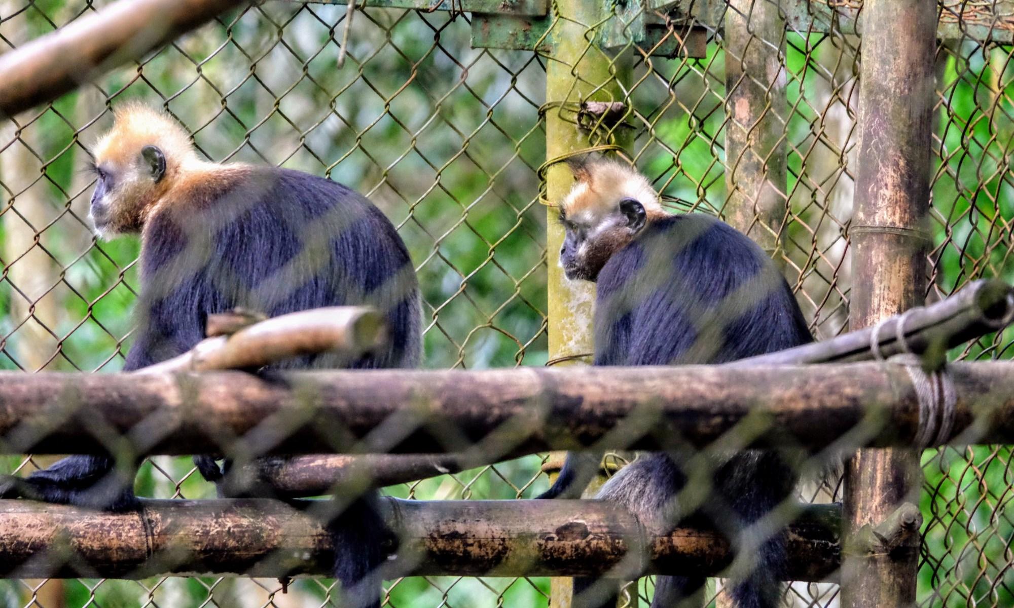 Cat Ba langurs in a primate rescue centre, Vietnam