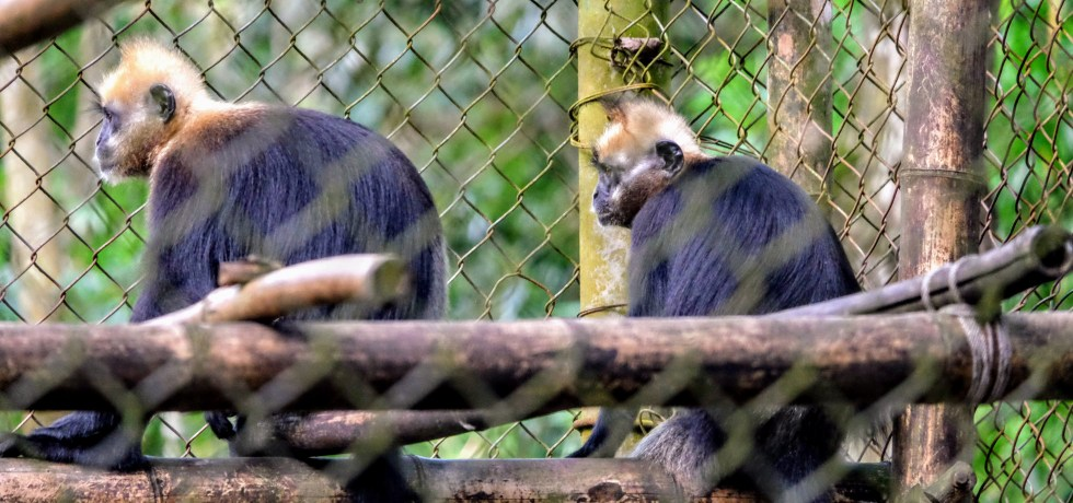 Cat Ba langurs in a primate rescue centre, Vietnam
