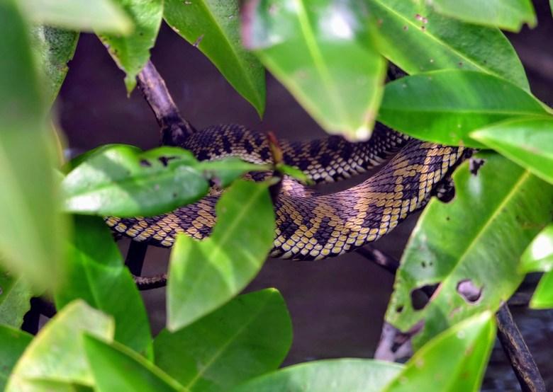 Mangrove pit viper, Langkawi Island, Malaysia