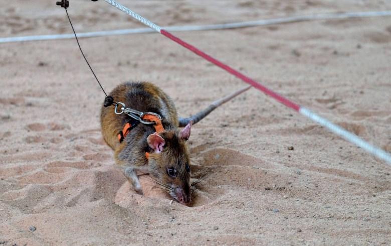 Gambian pouched rat, APOPO, Cambodia