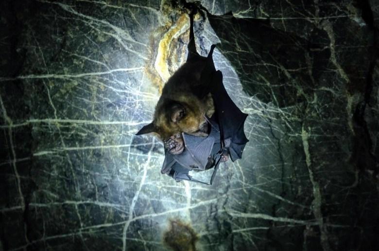 Bat performing oral sex, Langkawi Island, Malaysia