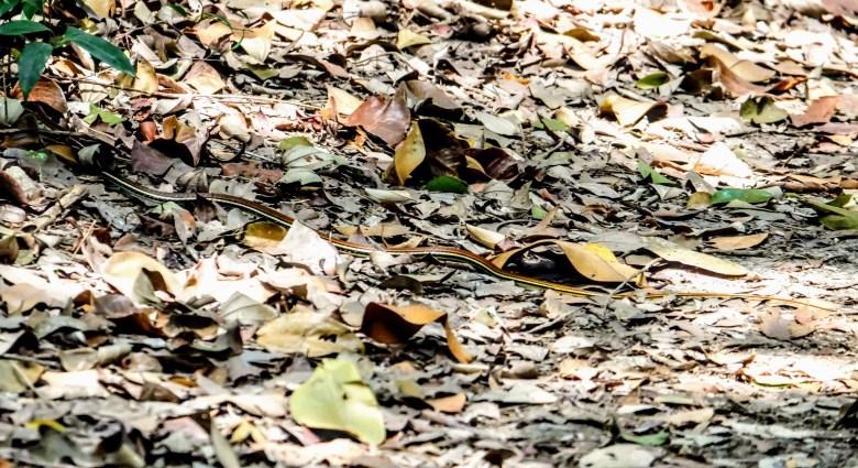 Striped kukri snake, MacRitchie Reservoir, Singapore