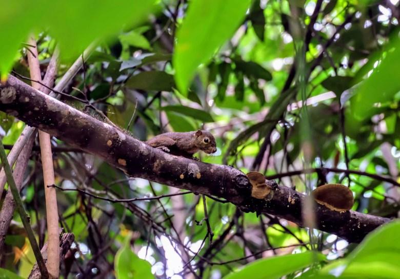 Slender squirrel, MacRitchie Reservoir, Singapore