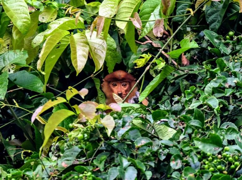 Female proboscis monkey, Kinabatangan River, Borneo