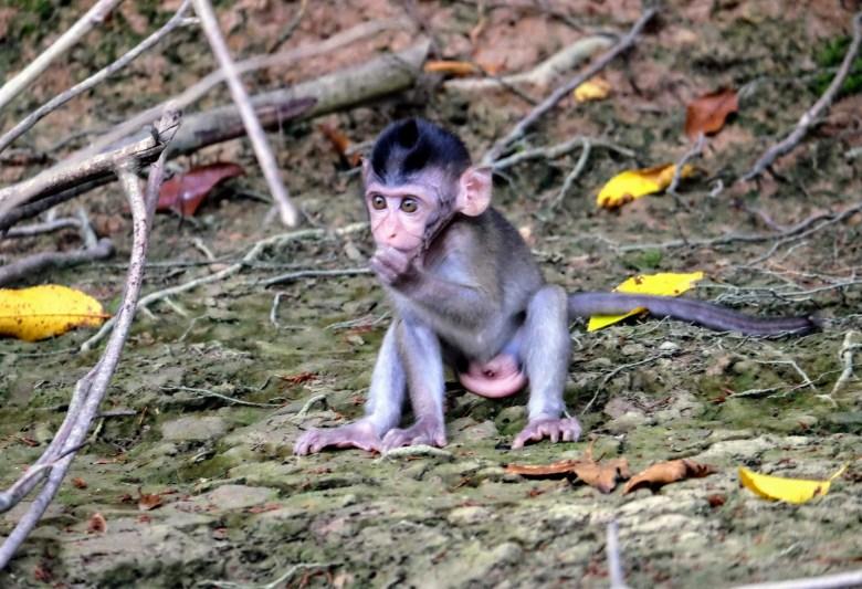 Baby long-tailed macaque, Kinabatangan River, Borneo