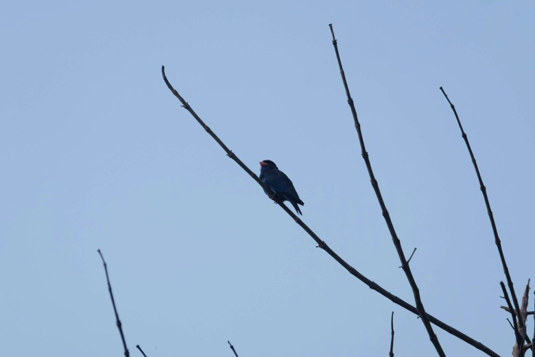 Oriental dollarbird, Kinabatangan River, Borneo