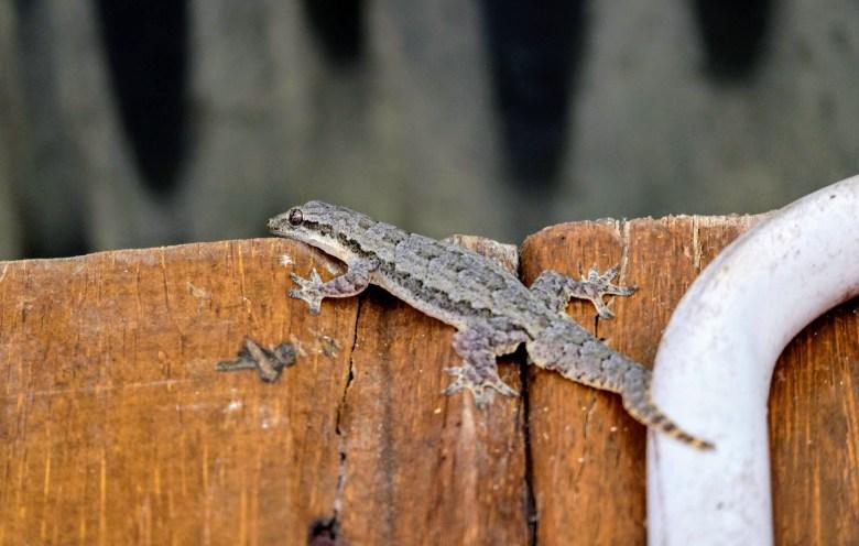 Frilly gecko, Kinabatangan River. Credit: C. Caddy