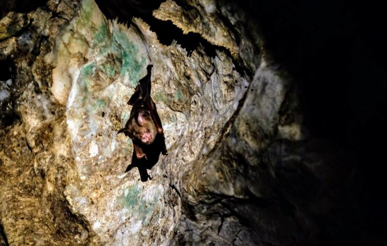 Cave bat, Kinabatangan River, Borneo