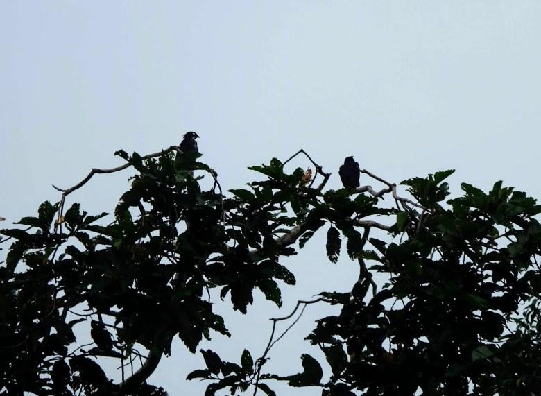 Wallace's hawk eagle, Kinabatangan River, Borneo