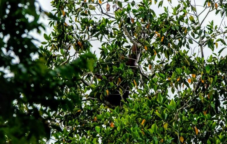 Wild orangutan at Kinabatangan River, Borneo