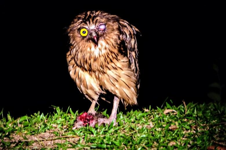 Buffy fish owl, Kinabatangan River, BorneoBuffy fish owl eating a rat, Kinabatangan River, Borneo