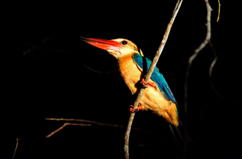 Stork-billed kingfisher, Kinabatangan River, Borneo
